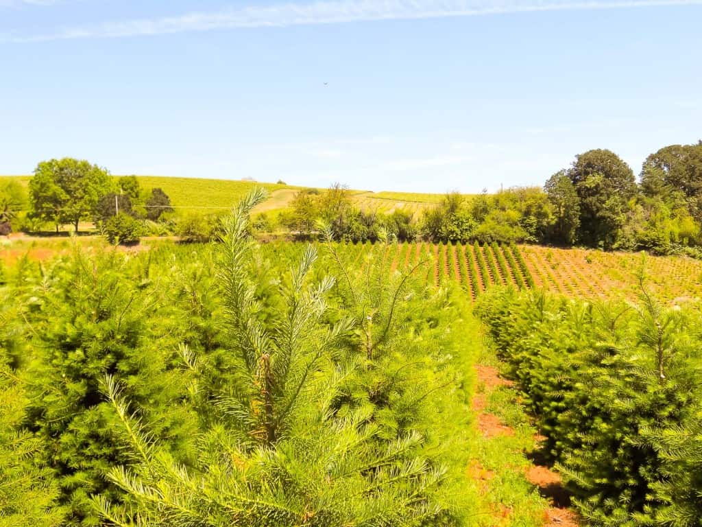 Jackson Hill Christmas Tree Farm