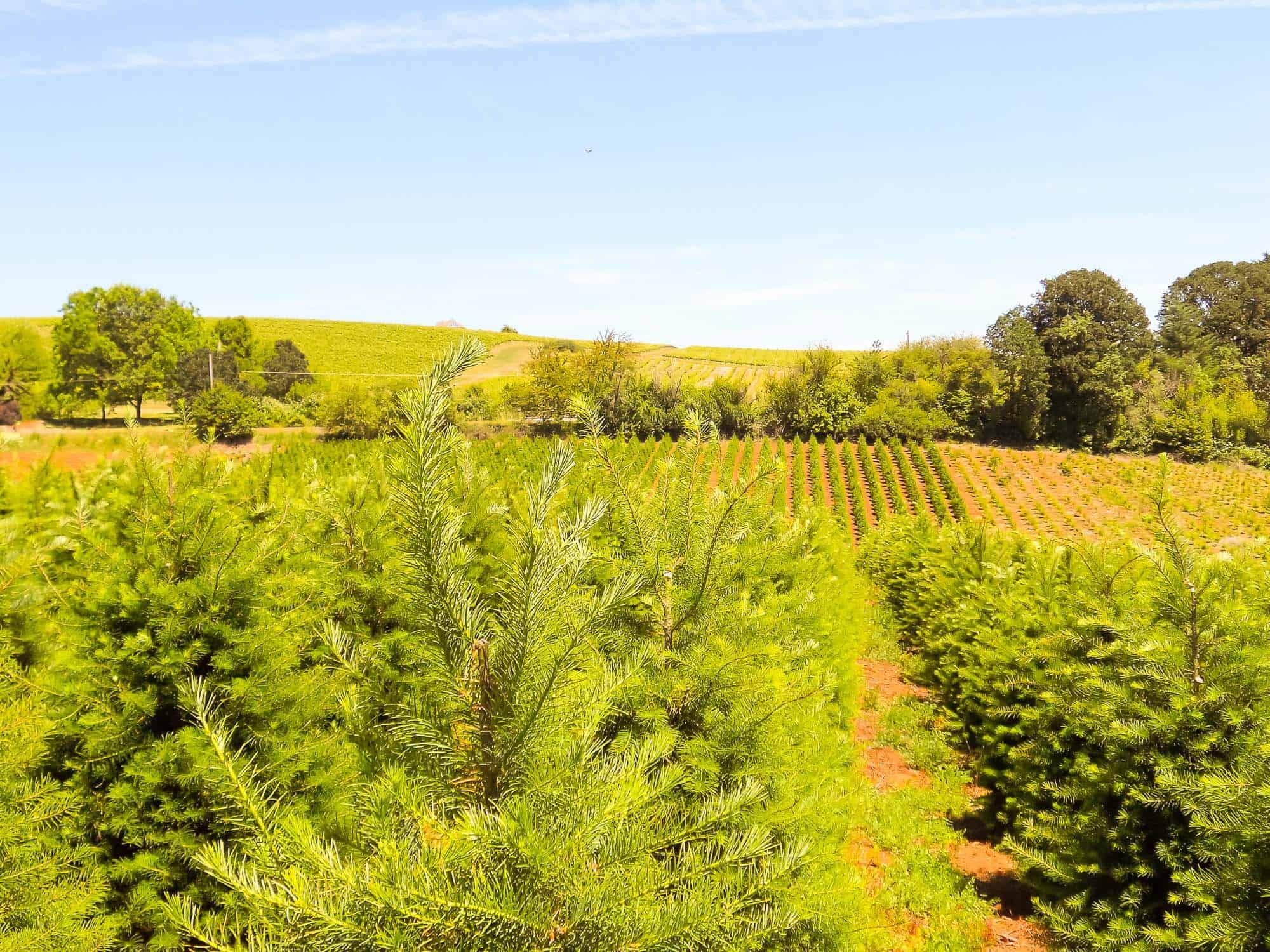 christmas tree farms katy tx